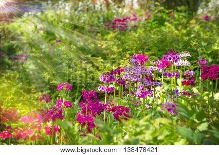 Bright Pink Primrose in a Lanhydrock Garden Cornwall UK.