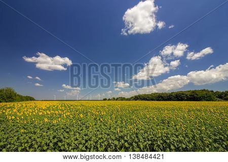 beautiful landscape of sunflower field with wind generators