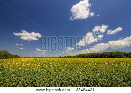 beautiful landscape of sunflower field with wind generators