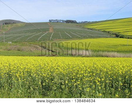 Canola Fields Durbanville, Cape Town South Africa 12