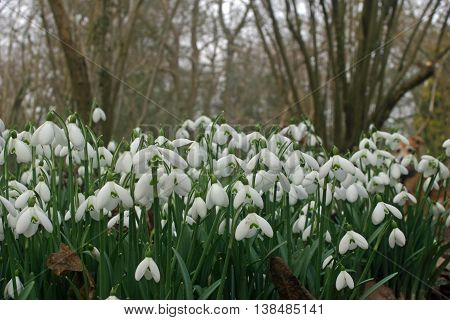 Snowdrops (Galanthus) in a clump in a spring woodland garden with a background of trees and leaves.