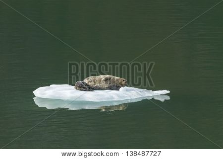 Harbor Seal With Baby On Iceberg In Tracy Arm Alaska
