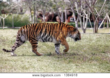 Tiger Walking