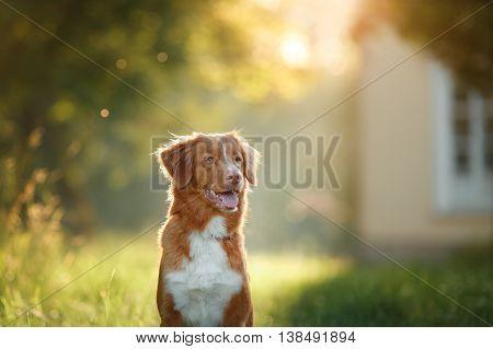 Dog Walks On Nature, Greens, Flowers Nova Scotia Duck Tolling Retriever