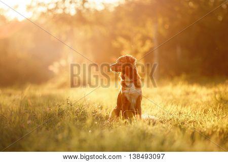 dog walks on nature greens flowers Nova Scotia Duck Tolling Retriever in summer