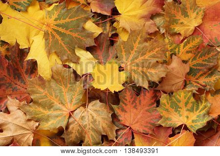 Autumn background - dried  yellow, green, orange and red maple leaves