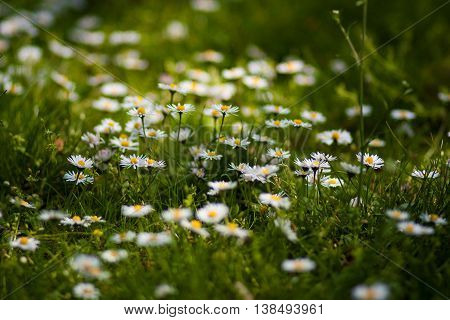 Small daisies in the grass in Germany