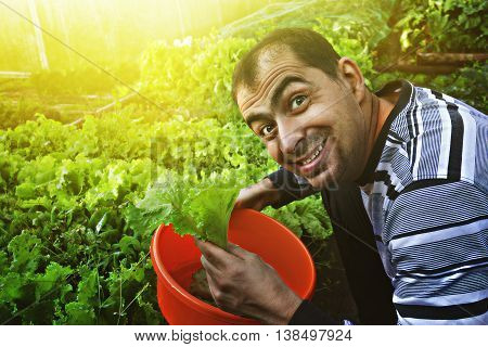Mature smiling man gathers a crop of lettuce.