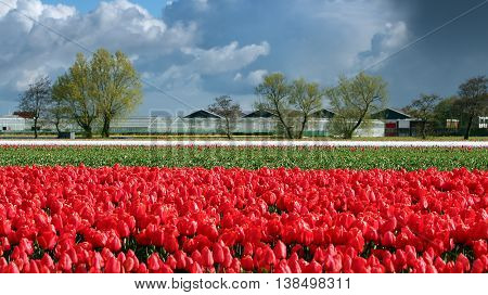 Landscape with Red Tulips and Clouds on Blue Sky in Netherlands. Tulip farm in Holland. Rows of red tulips in Dutch countryside.