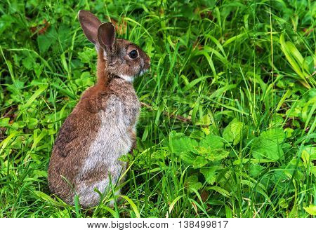 Alert young wild rabbit (Oryctolagus cuniculus) sat up on grass. shot close up room for text and copy space.