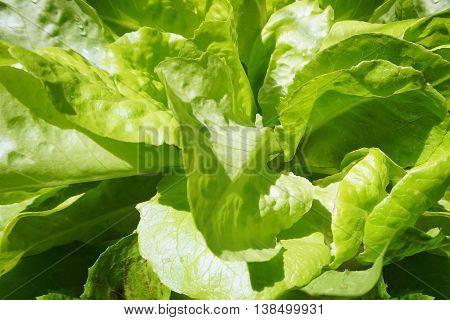Romaine lettuce green vegetable - texture background