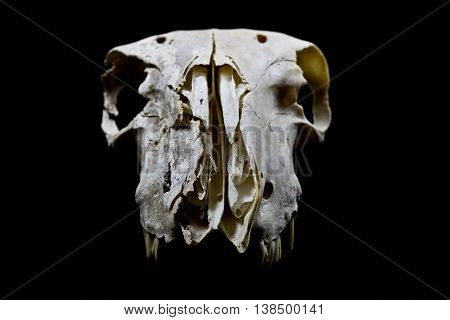 A Sheep Ram Skull on Black Background