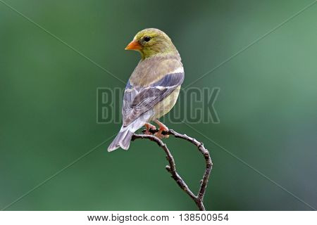A dull olive green female goldfinch (Carduelis tristis) perching on a branch in summer.