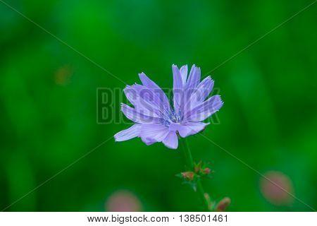 purple flower on a green background, flower cornflower