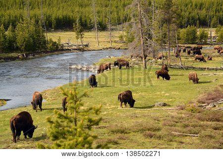 Buffalo herd grazing along Yellowstone River in Wyoming