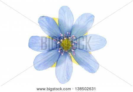 blue flower viola isolated on white background