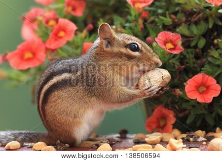 Adorable Eastern Chipmunk about to eat peanut standing in front of pretty petunia flower