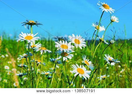 White daisies lawn on blue sky background. Summer field of white flowers. Beautiful landscape with daisies in the sunlight.