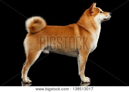 Cute pedigreed Red Shiba inu Breed Dog Standing on Isolated Black Background, Side view