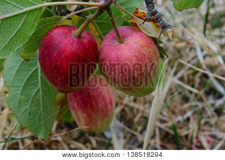 a group of red apples on a branch and ears