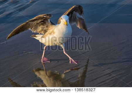 western gull (Larus occidentalis) dancing on the beach