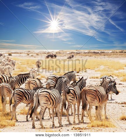zebras on waterhole