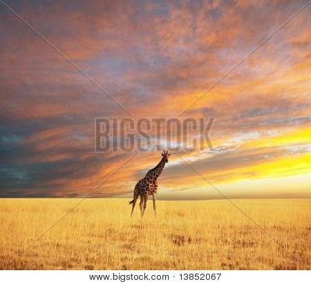 giraffe in savannah at dawn