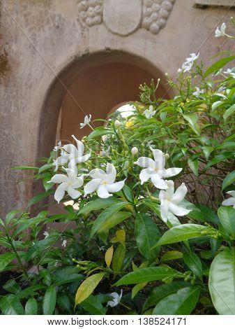 Again, White fresh flower in the ground