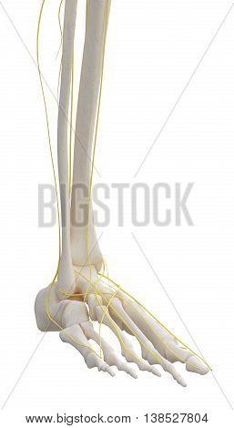 3D Illustration Of Left Leg Skeleton With Nervous.