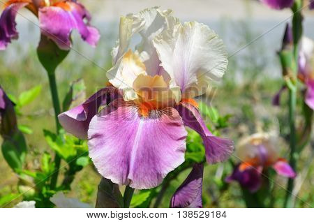 Closeup view of beautiful pink, lilac iris and bud in garden.