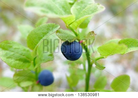 Blueberry fresh on stalk in the forest. Wild edible berries to improve vision. Vitamins in natural form in nature. Picking berries in the summer. In medicine uses the berries and leaves.