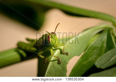 Face on macro photograph of a brightly coloured small green grasshopper with reddish brown eyes sitting on a green leaf and foliage