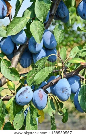 Plum orchard. Fruit growing in Serbia, Europe