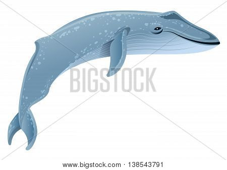 Blue whale marine mammal. Blue whale is largest animal on earth. Isolated on white vector illustration
