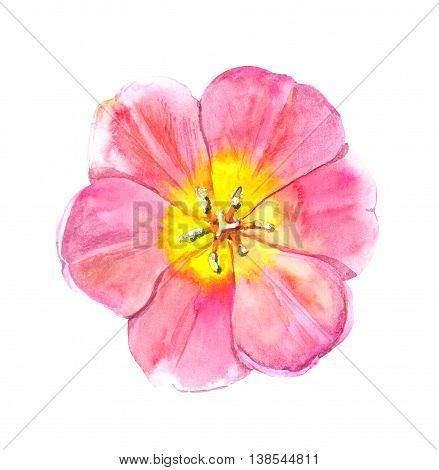 Pink tulip isolated flower. Watercolor botanical illustration