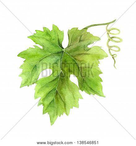 Grape leaf of vine with scroll. Watercolor botanical illustration
