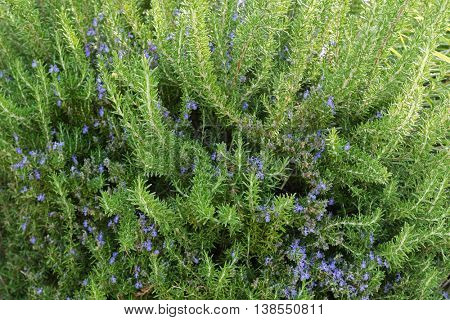 Herbal plant, home grown Rosemary with blue purple flowers blossoming in the garden