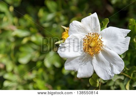 Closeup of Sweet Briar Rose flower in white blossoming in the garden with blurred background