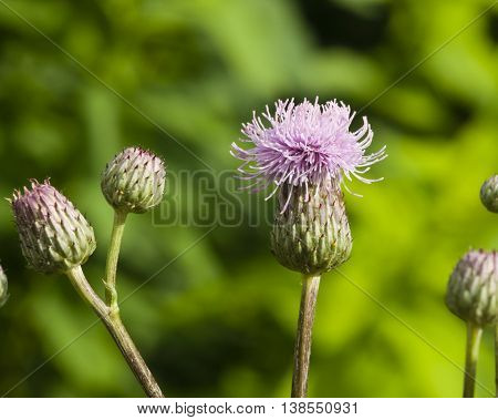 Blooming Thistle Cirsium arvense flower with bokeh background macro selective focus shallow DOF