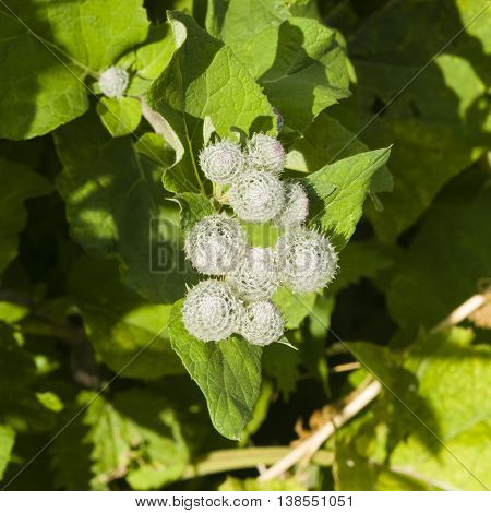 Flower buds on Wooly or Downy Burdock Arctium tomentosum macro selective focus shallow DOF