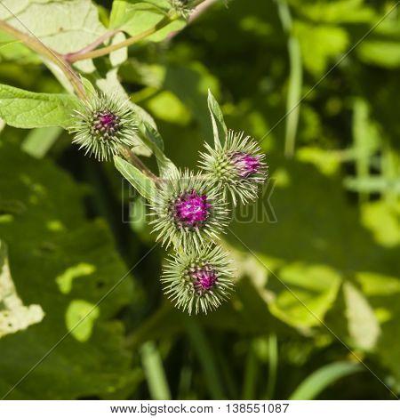 Flower buds on Wood Burdock Arctium nemorosum macro selective focus shallow DOF