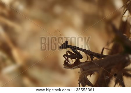 This is a small mantis in a thistle sitting,