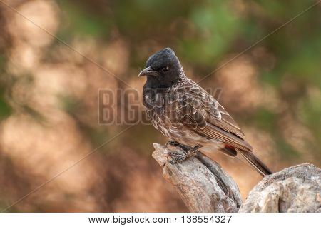 Red vented bulbul or Pycnonotus Cafer bird perched on a tree trunk