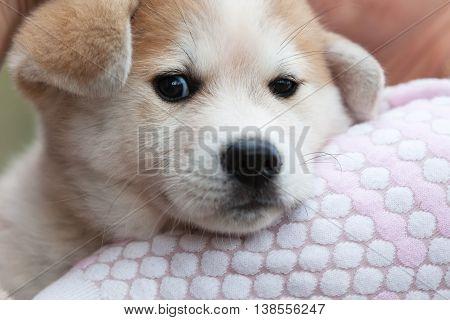 Japanese Akita Inu puppy dog sad close up