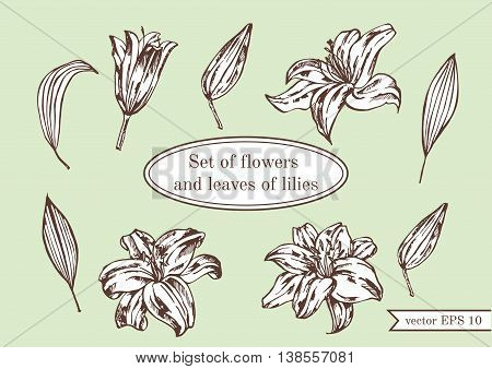 Set of lilies isolated on green background. Hand drawn vector illustration.Flower set: highly detailed hand drawn of Lily flowers.
