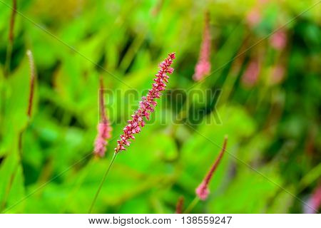 Closeup of a red blooming Persicaria amplexicaulis or mountain fleece plants between othe blossoming and budding plants on a sunny day in the summer season.