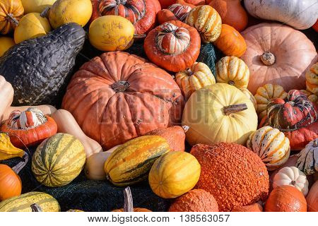Close up from Many different  colorfull  pumkins
