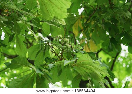 chinese chestnut on the tree close up, shallow focus