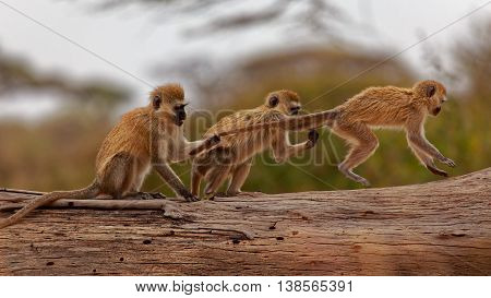 Don't pull my Tail Brother - Vervet monkey in Serengeti