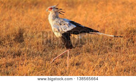 Secretary bird [Sagittarius] a reptile hunter in Serengeti Tanzania